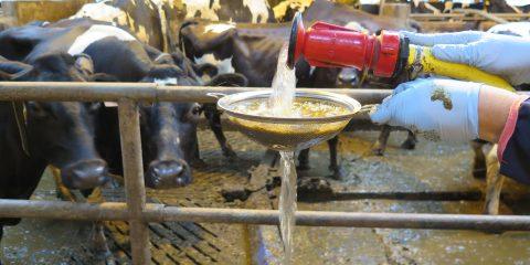 Fütterungsfehler bei Kühen am Kot erkennen
